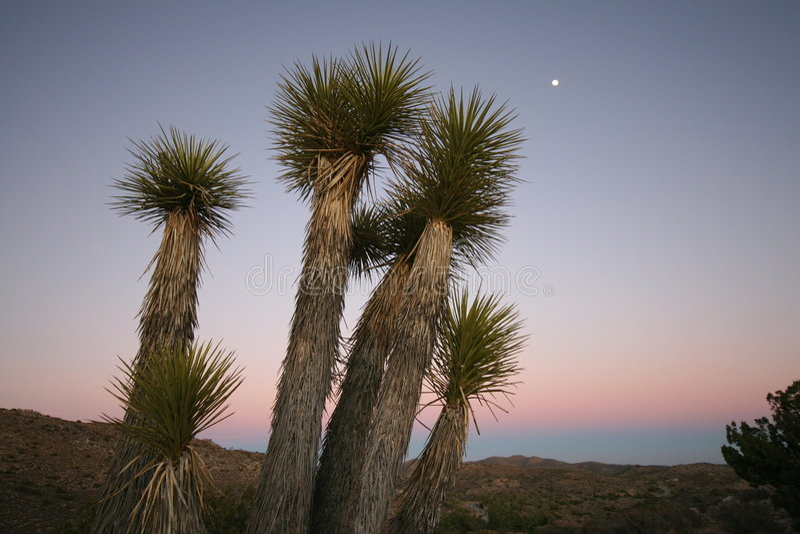 De Bomen van de yucca royalty-vrije stock afbeelding
