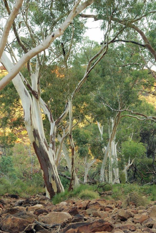 De Bomen van gommen - Australische Eucalyptus stock foto's