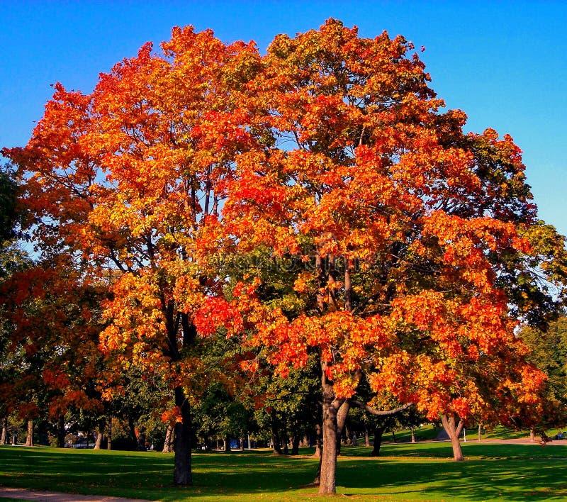 De bomen van de de herfstesdoorn in het park van de dalingsstad stock afbeeldingen