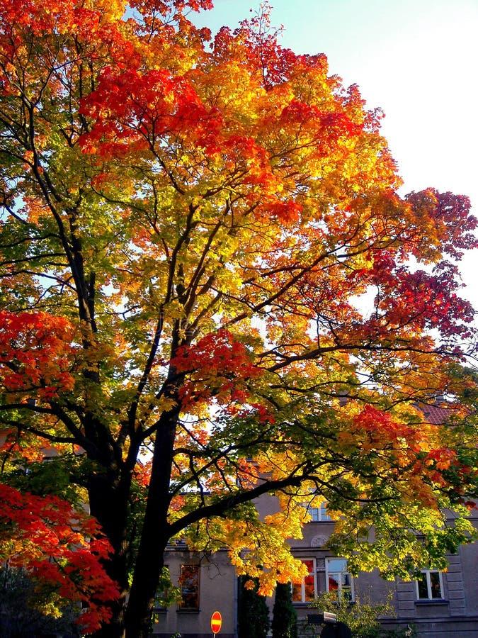 De bomen van de de herfstesdoorn in het park van de dalingsstad royalty-vrije stock fotografie