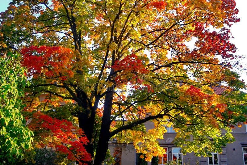 De bomen van de de herfstesdoorn in het park van de dalingsstad royalty-vrije stock foto's