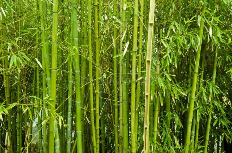 De bomen van het bamboe royalty-vrije stock foto