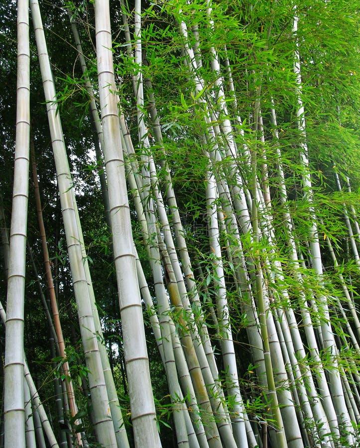 De Bomen van het bamboe stock foto's