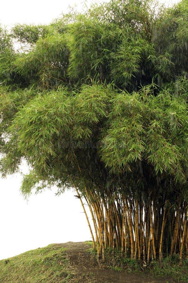 De bomen van het bamboe royalty-vrije stock afbeeldingen