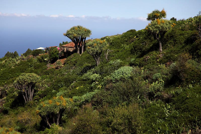 De Bomen van het Bloed van de draak op La Palma stock foto