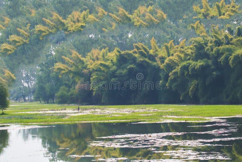 De Bomen van het moerasland en van het Bamboe stock afbeeldingen