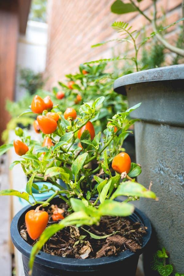 De bomen van het peperornament royalty-vrije stock foto