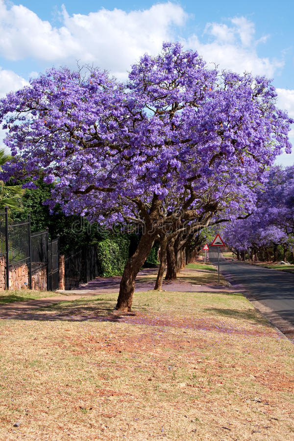 De bomen van Jacaranda royalty-vrije stock fotografie