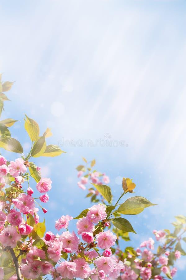 De bomen van de kersenbloesem, aard en de lenteachtergrond Roze sakurabloemen Vaag bloemlandschap, royalty-vrije stock foto's