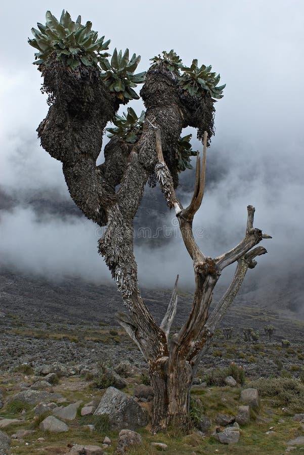 De bomen van Kilimanjari van Senecio stock afbeelding