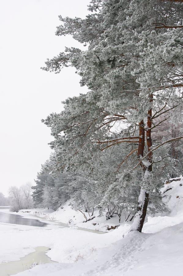 De bomen van de pijnboom in de winterbos royalty-vrije stock afbeeldingen