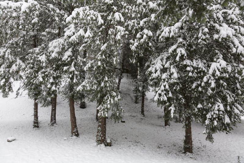 De Bomen van de pijnboom in de Wintertijd royalty-vrije stock foto