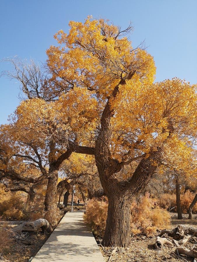 De bomen van Populuseuphratica stock afbeeldingen