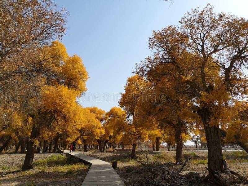 De bomen van Populuseuphratica royalty-vrije stock afbeelding