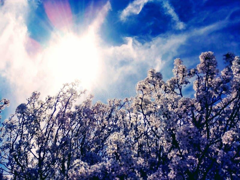 De bomenbloei van de de lente witte kers royalty-vrije stock afbeeldingen