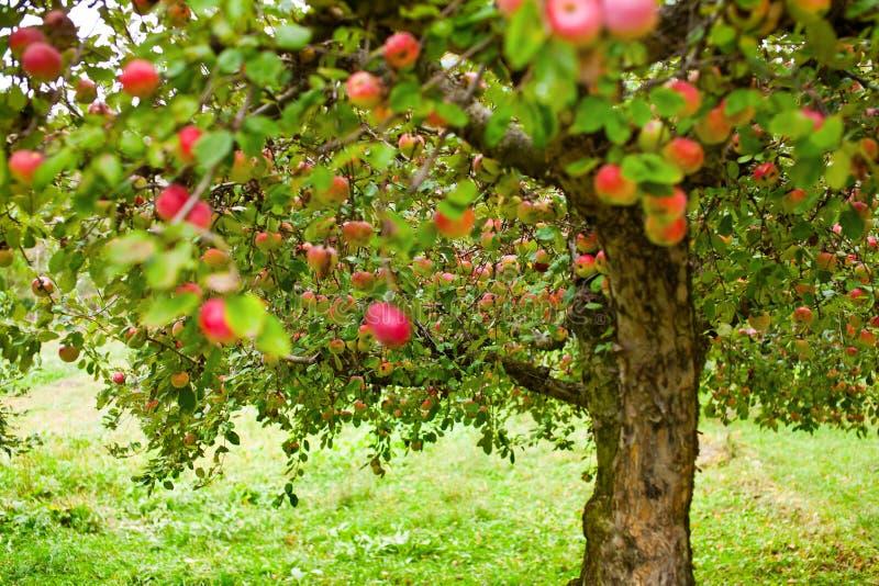 De bomenboomgaard van de appel stock afbeelding