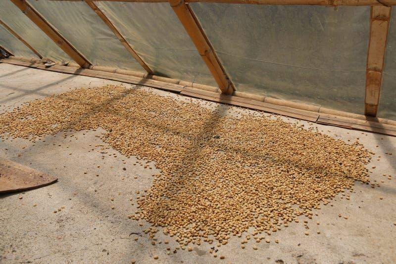 De bonen die van de koffie in de zon drogen stock foto's