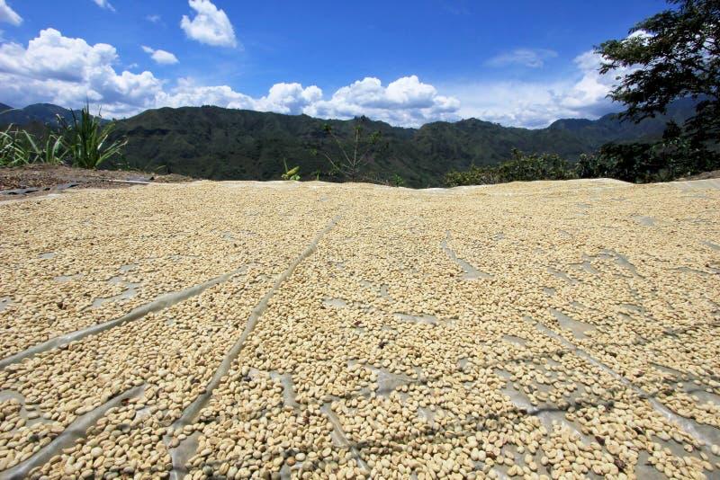 De bonen die van de koffie in de zon drogen Koffieaanplantingen op de bergen van San Andres, Colombia royalty-vrije stock fotografie