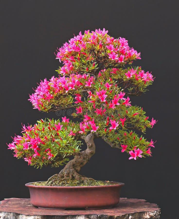 De bonsai van de azalea in bloei stock foto