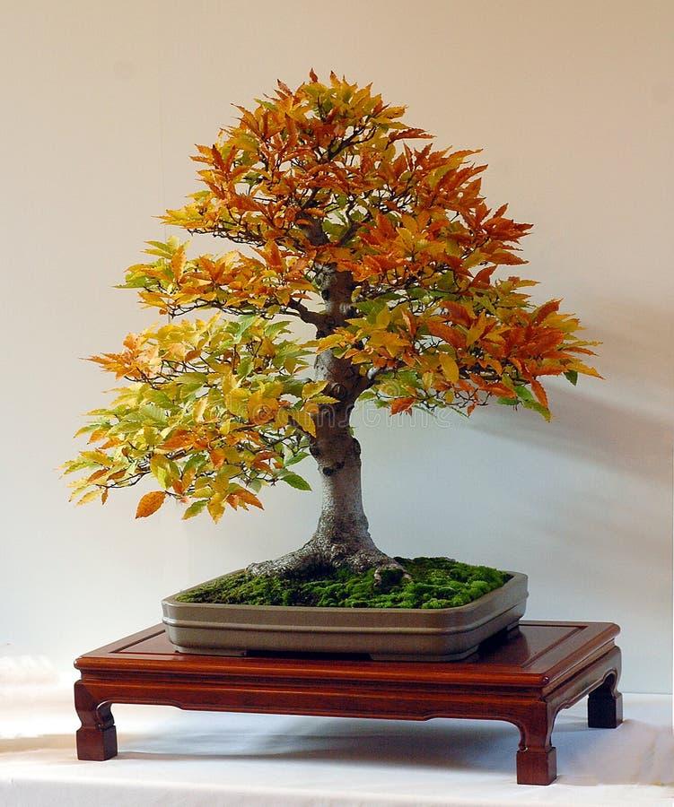 De bonsai van de beuk in dalingskleur royalty-vrije stock foto