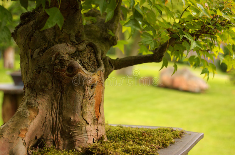 De bonsai van de Esdoorn van de drietand royalty-vrije stock afbeeldingen