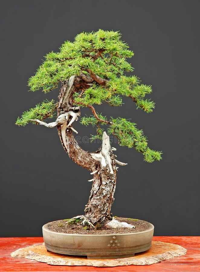De bonsai van de lariks in de zomer royalty-vrije stock foto's