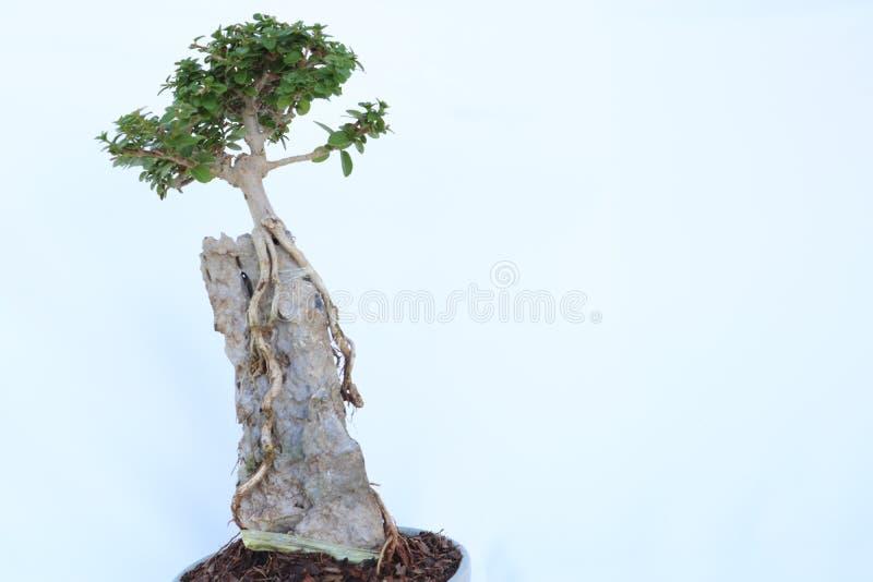 De bonsaibomen hebben lange wortels op de rotsen in kleine potten Simuleer aard in het grote bos stock afbeelding