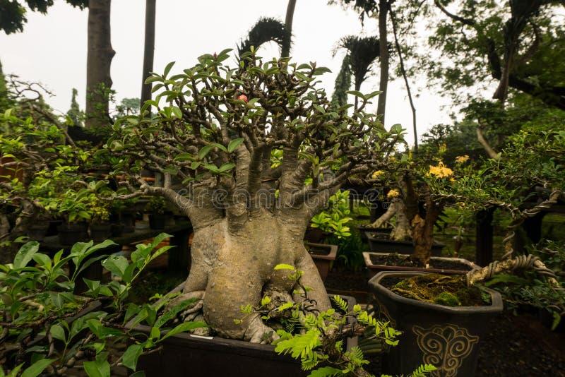 De bonsaiboom in een pot van klei voor decoratieve die installaties wordt verkoopt bij de foto van de installatieverkoper in Djak stock afbeeldingen