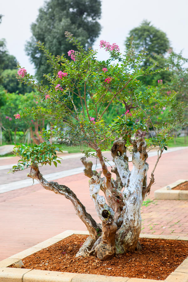 De bonsaiboom van de rouwbandmirte stock afbeeldingen