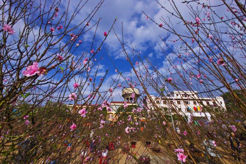 De bonsaiperzik komt in een bloemmarkt tot bloei in Namdinh-Stad de van de binnenstad bij de gelegenheid van het nieuwe jaar stock afbeeldingen