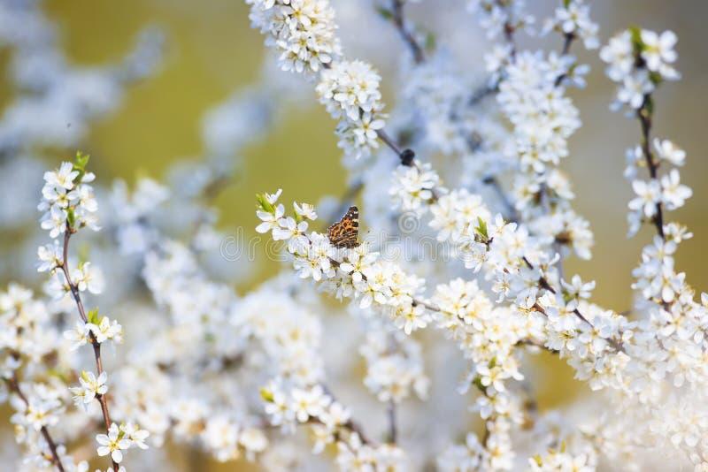 De bont sinaasappel een kleine vlinder zit op takken met pluizige geurige bloemen en knoppen van struik zonnig tot bloei komen in royalty-vrije stock foto's