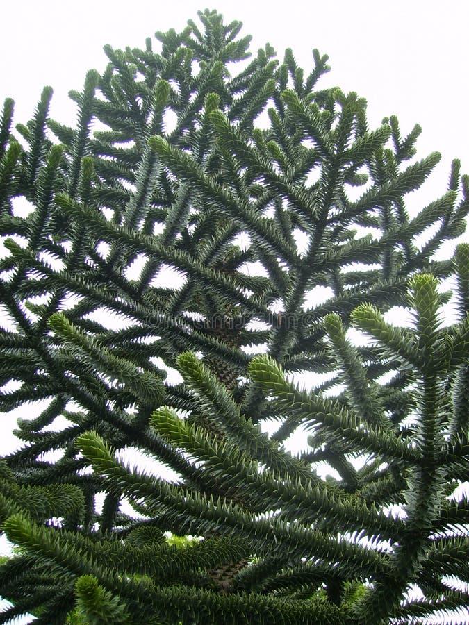 De boom Chileense Araucaria van het aapraadsel - altijdgroene boom stock foto