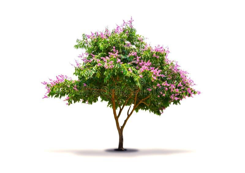 De boom die purper-roze die bloem heeft op witte achtergrond wordt geïsoleerd stock fotografie