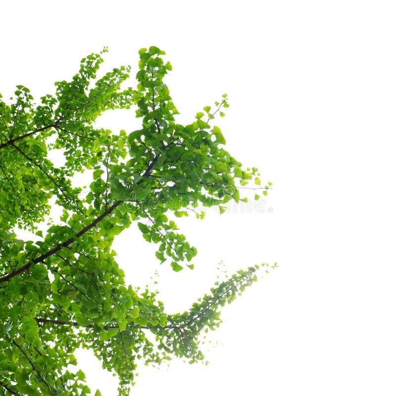 De boom en de bladeren van Ginkgobiloba stock foto's