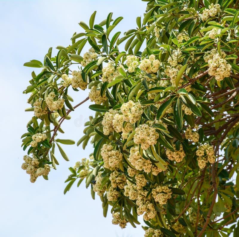 De boom en de bloemen van Alstoniascholaris bij bos in Phu Quoc, Vietnam royalty-vrije stock fotografie
