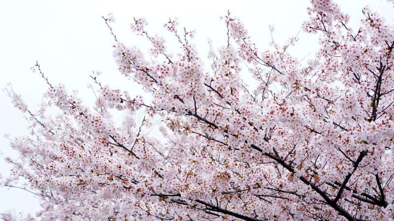 De boom en de hemel van de kersenbloesem royalty-vrije stock fotografie