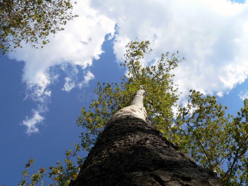 Download De boom en kon stock afbeelding. Afbeelding bestaande uit blauw - 275087