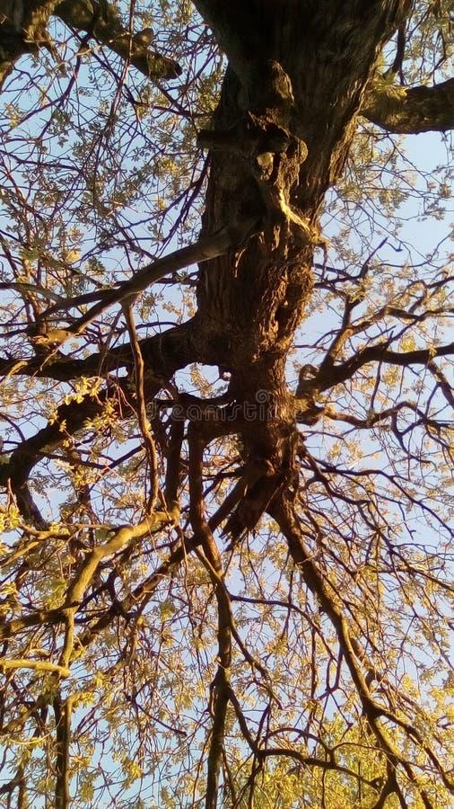 De boom en snoeit in de lente stock foto
