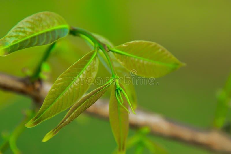 De boom geeft nieuwe bladeren uit die zeer klein zijn stock foto