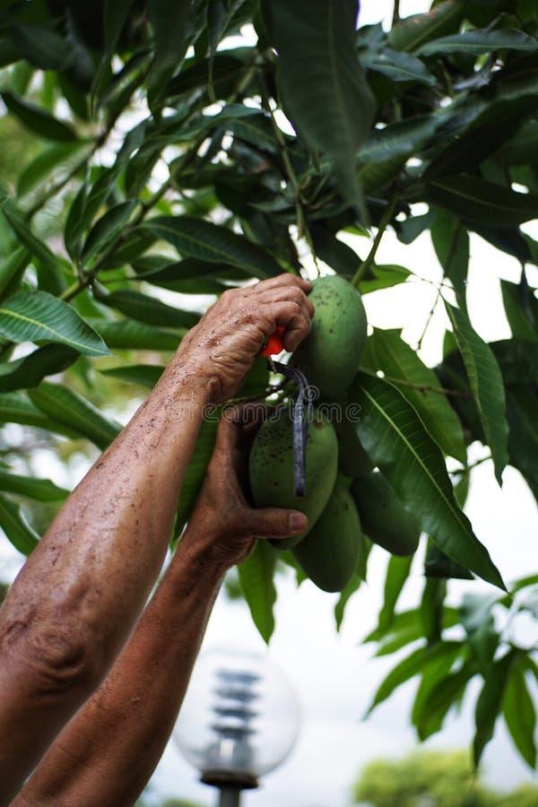 De boom kleine groen van de mangohand stock foto
