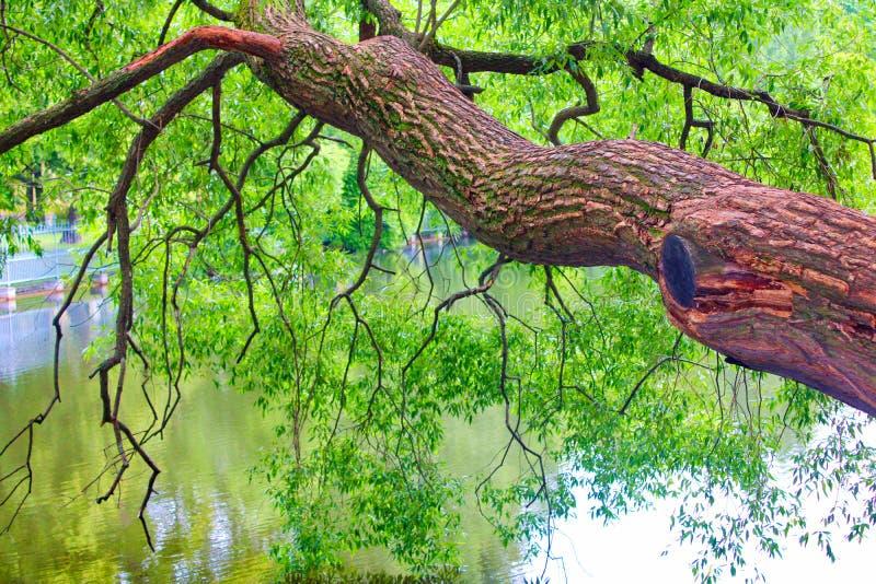 De boom met het uitspreiden van takken en het gebladerte bogen over de oppervlakte van het water royalty-vrije stock afbeeldingen
