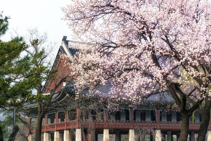 De boom van de abrikozenbloem in gyeongbokpaleis stock fotografie