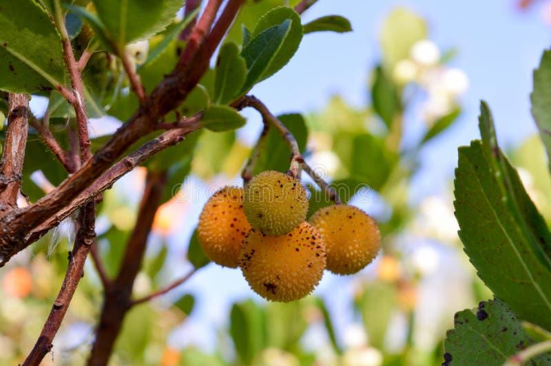 De boom van Arbutusunedo met vruchten stock afbeelding