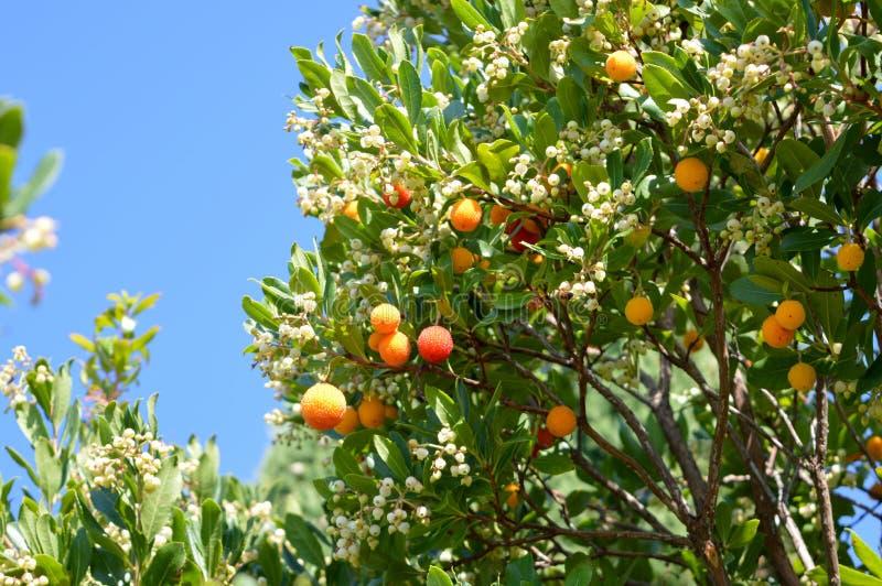 De boom van Arbutusunedo met vruchten en bloemen stock afbeelding