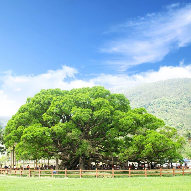 De boom van Banyan stock fotografie