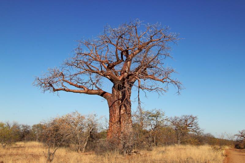 De Boom van Baoba royalty-vrije stock foto's