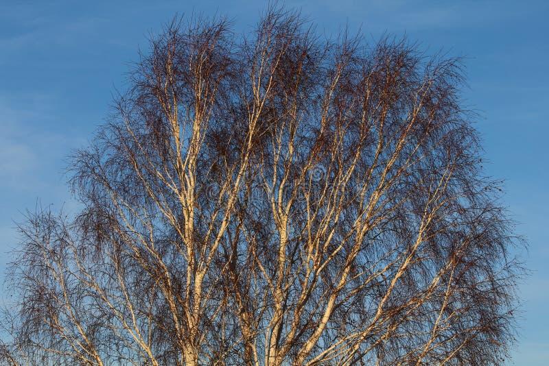 Download De boom van de berk stock foto. Afbeelding bestaande uit takken - 107701998