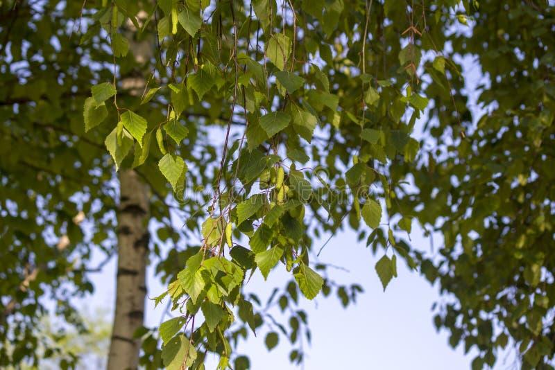 De boom van de berk De knoppen van de berk Tuin Park vierkant De lente stock afbeeldingen