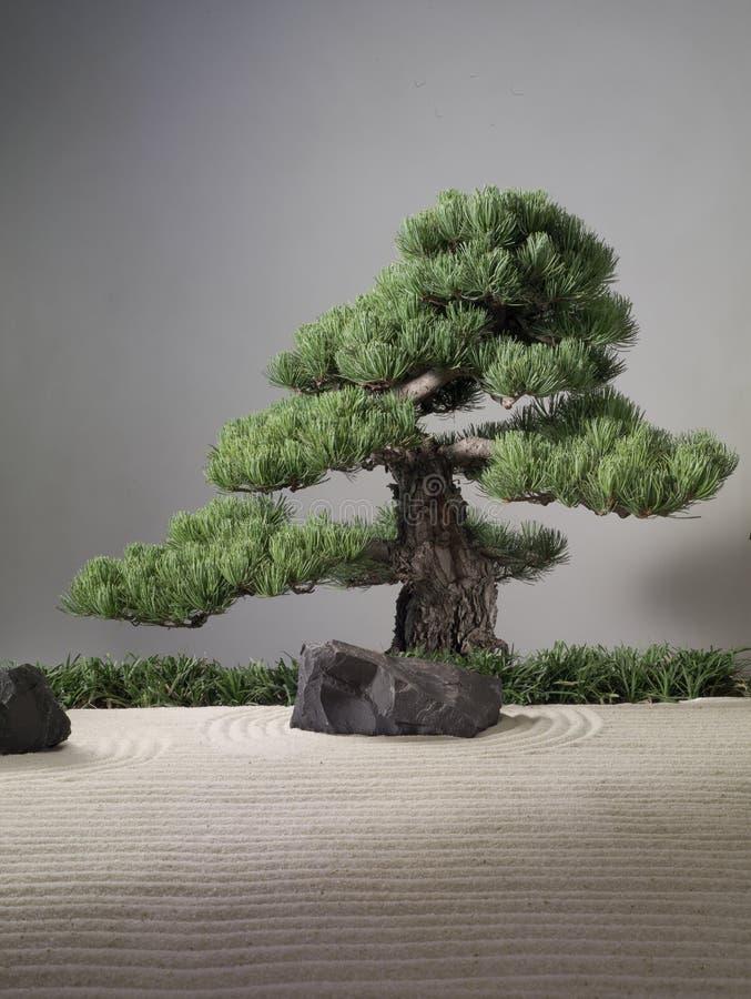 De boom van de bonsaipijnboom op een zand Aziatische tuin met zwarte achtergrond stock foto's