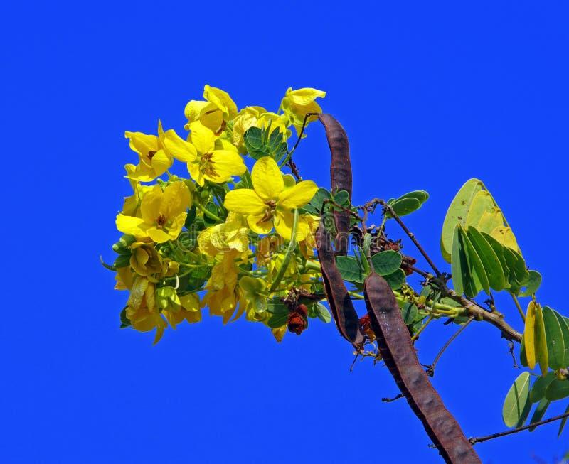 De boom van Cassod, Thaise koperpeul royalty-vrije stock foto